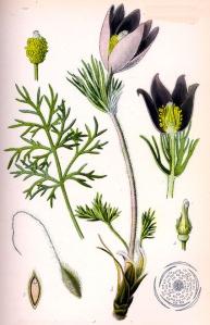 Pulsatille anémone (Pulsatilla vulgaris Miller)