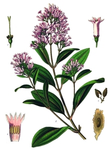 Quinquina (Cinchona officinalis)