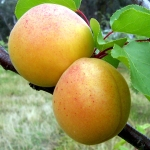 Abricotier - Aprikose