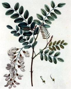 Acacia (Robinia pseudoacacia L.)