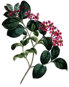 Acérola (Malpighia emarginata)