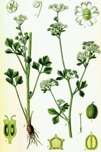 Ache (Apium graveolens)