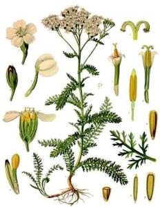 Achillée Millefeuille (Achillea millefolium L.)