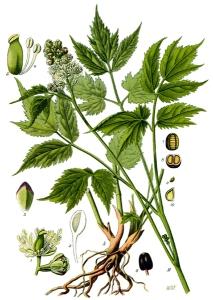 Actée à grappes (Cimicifuga racemosa)