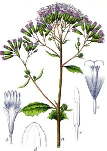 Adénostyle à feuilles d'alliaire - (Adenostyles alliariae)