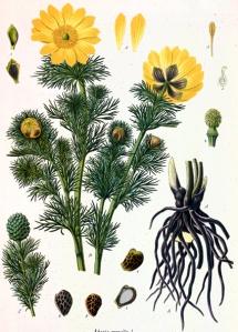 Adonide de printemps (Adonis vernalis L.)