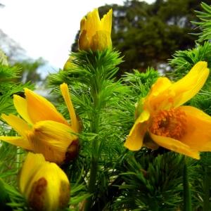 Adonide de printemps