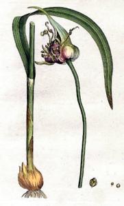 Ail (Allium sativum L.)