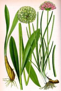 Ail des cerfs - (Allium victorialis)