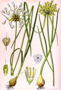 Ail des champs (Allium oleraceum L.)