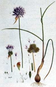 Ail des vignes (Allium vineale L.)