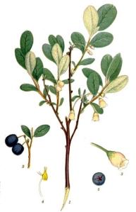 Airelle des marais - (Vaccinium uliginosum)