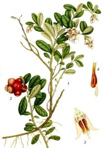 Airelles rouges (Vaccinium vitis-idaea)