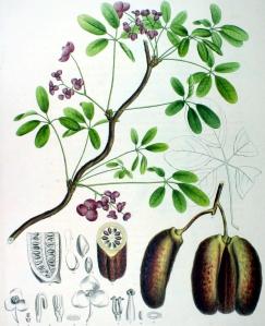 Akebia (Akebia quinata)