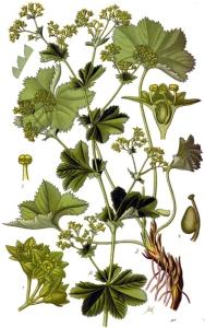 Alchémille (alchemilla vulgaris)