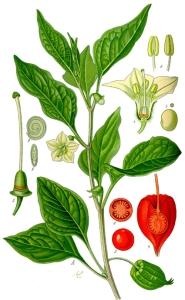 Alkékenge (Physalis alkekengi L.)