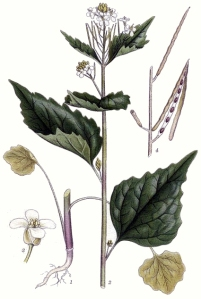 Alliaire officinale (Alliaria Petiolata)