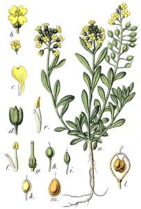 Alysson (Alyssum macrocarpum)