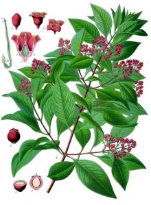 Amyris balsamifera-2