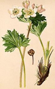 Anémone à fleurs de narcisse - (Anemone narcissiflora)