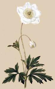 Anémone sauvage - (Anemone sylvestris)