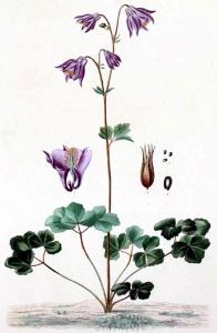 Ancolie (Aquilegia vulgaris)