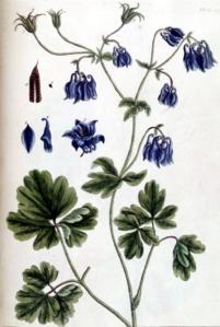 Ancolie commune - (Aquilegia vulgaris)
