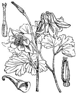 Ancolie commune (Aquilegia vulgaris)