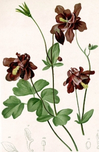 Ancolie noirâtre (Aquilegia atrata)