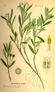 Andromède (Andromeda polifolia L.)