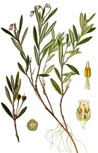 Andromède à feuilles de polium - (Andromeda polifolia)