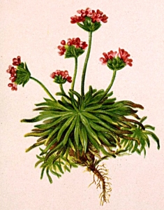 Androsace carnée - (Androsace carnea)
