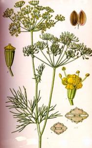 Aneth odorant (Anethum graveolens)