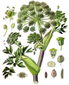 Angélique (Angelica archangelica L.)
