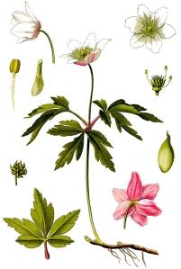 Anémone Sylvie (Anemone nemorosa)