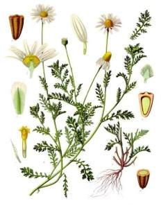 Anthémis des champs (Anthemis arvensis L.)