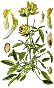 Anthyllide vulnéraire (Anthyllis vulneraria)