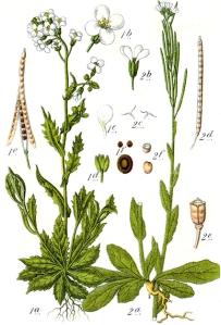 Arabette hérissée (Arabis hirsuta L.)