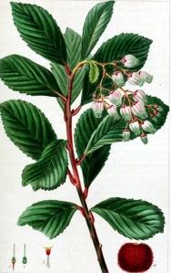 Arbousier (Arbutus unedo)