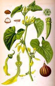 Aristoloche (Aristolochia clematitis)