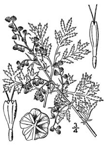 Armoise annuelle (Artemisia annua)