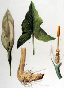 Arum d'Italie (Arum italicum Miller)