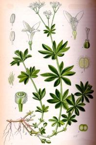 Aspérule odorante (Asperula odorata)