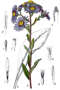 Aster amelle (Aster amellus L.)