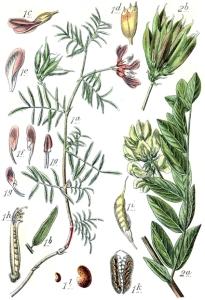 Astragale (Astragalus)