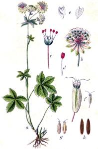 Astrance grande ( Astrantia major L.)