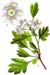 Aubépine (Crataegus monogyna Jacq.)
