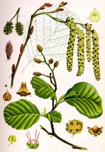 Aulne (Alnus glutinosa)