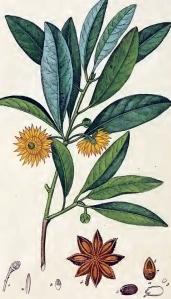Badiane chinoise (illicium verum)