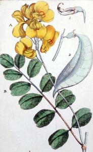 Baguenaudier (Colutea arborescens)